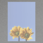 Sonnenblumen A4